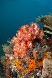 röd soft för korall Royaltyfria Bilder