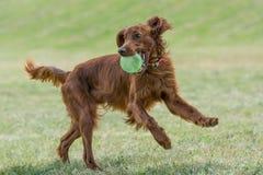 Röd spring för irländsk setter, selektiv fokus på hunden Royaltyfria Bilder