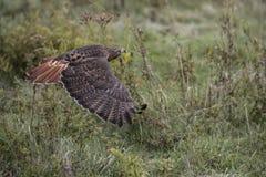 Rd Tailed Hawk. Harlan`s Red Tailed Hawk in flight. Carol Gray; grayfoxxpixx.com Stock Photography