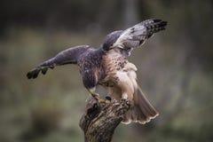 Rd Tailed Hawk. Red tailed hawk seizing his prize. Carol Gray; grayfoxxpixx.com Stock Photo