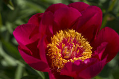 Röd trädgårds- pion Royaltyfria Foton