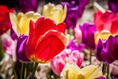 Röd tulpan i fältet av Mång--färgade tulpan Royaltyfri Bild