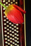 Röd tulpan på tangentbordet Royaltyfria Foton