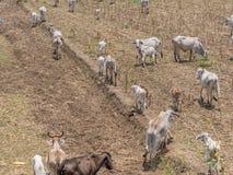 3rd värld för ko och för kalv Fotografering för Bildbyråer