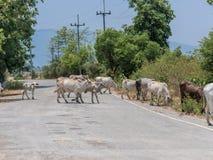 3rd värld för ko och för kalv Royaltyfri Fotografi