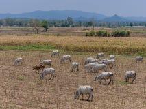 3rd värld för ko och för kalv Royaltyfria Bilder