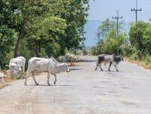 3rd värld för ko och för kalv Arkivfoton