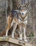 röd wolf Royaltyfria Foton