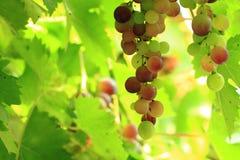 Röda druvor i solen Arkivbilder