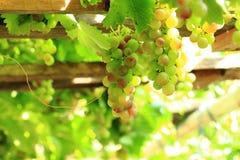 Röda druvor i solen Royaltyfri Fotografi