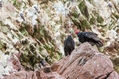 Röda halsfåglar för gam i Ballestas Islands.Peru.South Amerika. Nationalpark Paracas. Arkivfoto