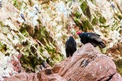 Röda halsfåglar för gam i Ballestas Islands.Peru.South Amerika. Nationalpark Paracas. Arkivbild