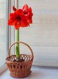 Röda Hippeastrum i korg Fotografering för Bildbyråer