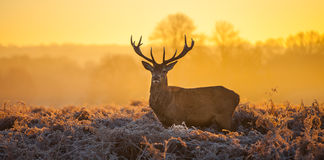 Röda hjortar Royaltyfri Bild
