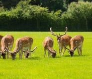 Röda hjortar med horn på kronhjort nya Forest England UK Arkivfoto
