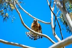 Röda knuffade Hawk Flares Its Tail Feathers Royaltyfria Foton