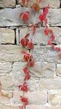 Röda leaves av murgrönaen på stenväggen Arkivbilder