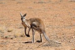 Röda manliga kängurur Arkivbild