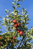 Röda äpplen växer på en filial mot blå himmel Royaltyfri Foto