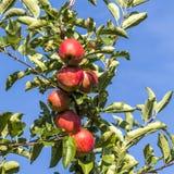 Röda äpplen växer på en filial mot blå himmel Royaltyfri Fotografi
