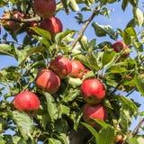 Röda äpplen växer på en filial mot blå himmel Arkivfoton