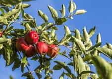 Röda äpplen växer på en filial mot blå himmel Arkivbild
