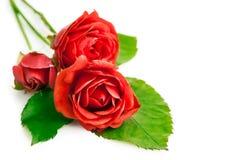 Röda ro med gräsplan lämnar Royaltyfri Foto
