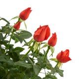 Röda rosblommor i en plast- kruka Fotografering för Bildbyråer