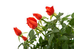 Röda rosblommor i en plast- kruka Royaltyfri Bild