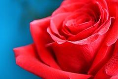 Röda Rose Fotografering för Bildbyråer