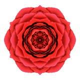 Röda Rose Mandala Flower Kaleidoscopic Isolated på vit Royaltyfri Fotografi
