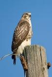 Röda Tailed Hawk On Utility Pole Royaltyfri Bild