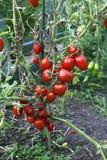 Röda tomater i ett växthus Royaltyfri Bild