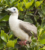 Rdd Footed Booby on Perch Stock Image