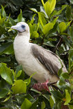Rdd Footed Booby on Perch Stock Photography