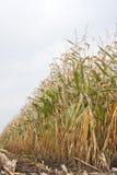 śródpolna kukurydza Zdjęcia Stock