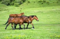 śródpolni zieleni grupy konie Zdjęcie Stock