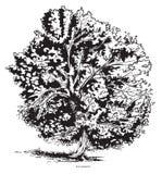 Śródpolny klonowy drzewo Zdjęcie Stock