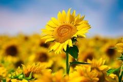 śródpolny słonecznik Zdjęcie Royalty Free