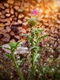 Rduus latin de ¡ du chardon CÃ, fleur fermée images libres de droits