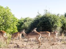 Reúna el melampus del Aepyceros del impala, parque nacional de Chobe, Botswana Fotografía de archivo