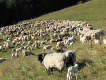 Reúnase con muchas ovejas con el paño grueso y suave largo que pastan en meado de la montaña Imagenes de archivo