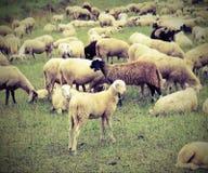 Reúnase con muchas ovejas que pastan en las montañas Fotografía de archivo