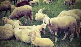 Reúnase con muchas ovejas que pastan en las montañas Fotos de archivo