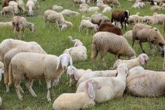 reúnase con tan muchas ovejas blancas con los corderos que pastan en el mountai Imagen de archivo libre de regalías