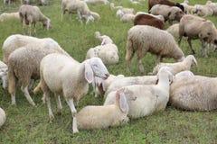 reúnase con tan muchas ovejas blancas con los corderos que pastan en el mountai Imagen de archivo
