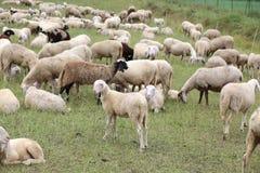 Reúnase con tan muchas ovejas blancas y corderos que pastan Fotos de archivo