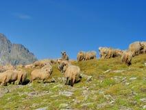 Reúnase las ovejas en el top de las montañas fotografía de archivo libre de regalías