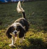 Re allegro Charles, il nostro cane di animale domestico. Immagini Stock Libere da Diritti