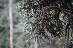 Re Billy Pine Tree fotografia stock libera da diritti